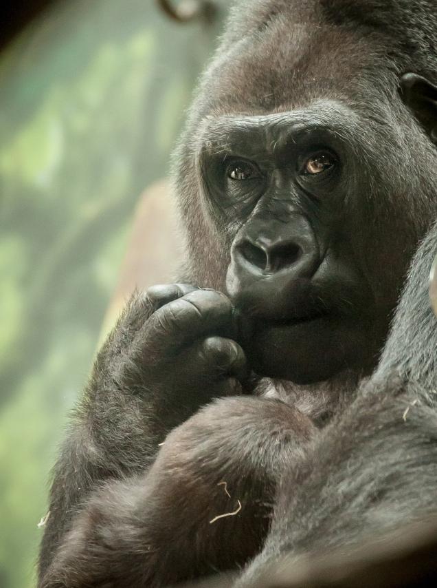 Gorillas11