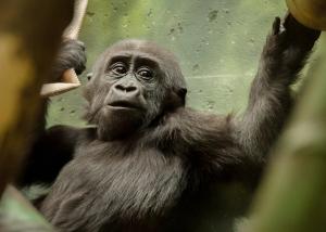Gorillas2