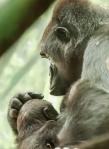 Gorillas5